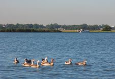 Free Geese On The Lake Royalty Free Stock Photography - 235867