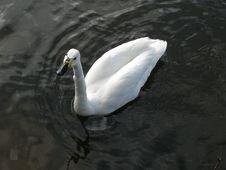 Free Swan Stock Photos - 236283
