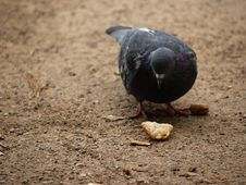 Free Pigeon S Lunch Spiced By Human Touch Stock Photo - 236490