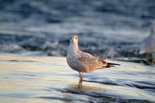 Free Seagull Stock Photography - 236532
