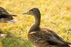 Free Duck Portrait Royalty Free Stock Photo - 237615
