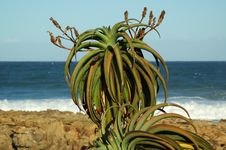 Free Aloe Plant 2 Royalty Free Stock Photography - 237777