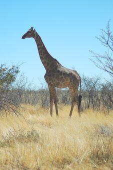 Free Giraffe In Etosha Stock Photo - 237930
