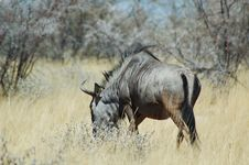 Free Blue Wildebeast In Etosha Stock Image - 238141