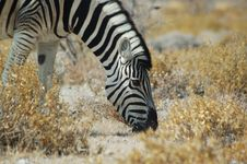 Free Zebra 1 Royalty Free Stock Images - 238149