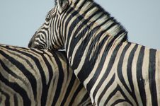 Free Zebra Love 2 Royalty Free Stock Photo - 238165