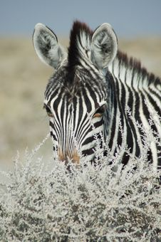 Free Zebra Stare Stock Photography - 238182
