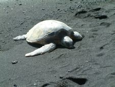 Free Turtle On Black Sand Beach Stock Photo - 238470