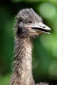 Free Ostrich Stock Image - 239071