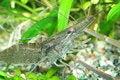 Free Freshwater Shrimp Stock Photo - 2301580