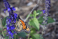 Free Monarch Butterfly IV Stock Images - 2306174