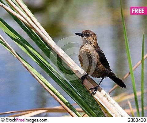 Free Common Grackle (Female) Stock Photo - 2308400