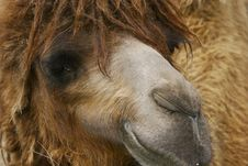 Free Camel Portrait Royalty Free Stock Image - 2300066