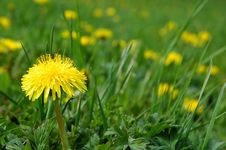 Free Dandelion Meadow Stock Photos - 2300303