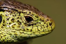 Free Portrait Of Lizard Stock Image - 2300331