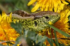 Lizard Between Dandelions Stock Images