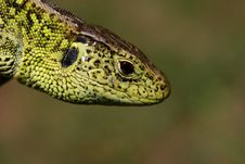Free Lizard´s Head Royalty Free Stock Photography - 2300397