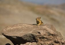 Free Chipmunk Royalty Free Stock Photos - 2300448