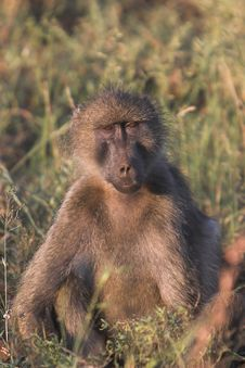 Free Baboon Stock Image - 2300731