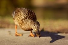 Free Duck Royalty Free Stock Photography - 2300837
