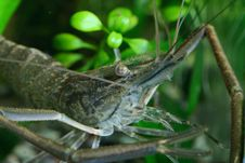 Free Freshwater Shrimp Stock Photography - 2301572