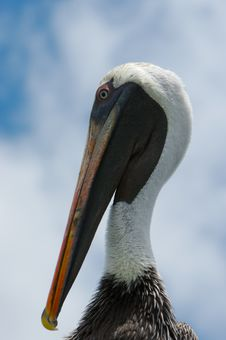 Pelican S Head Royalty Free Stock Photography