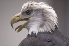Free Bald Eagle Stock Photos - 2302793