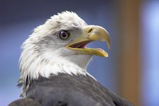 Free Bald Eagle Royalty Free Stock Photo - 2302795