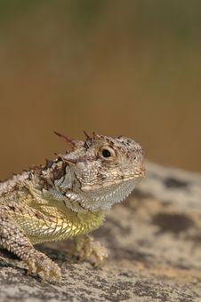 Texas Horned Lizard Royalty Free Stock Photo