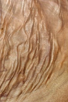 Free Wood Texture: Camphor Laurel Stock Photos - 2303383
