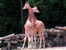 Free Giraffes Cuddling Stock Photos - 2303513