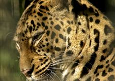 Free Leopard Royalty Free Stock Image - 2303906