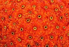 Free Gerbera Flowers Stock Photo - 2304130
