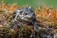 Free Frog Royalty Free Stock Photos - 2305788