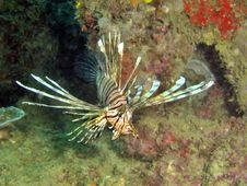 Free Lionfish Display Royalty Free Stock Images - 2305849
