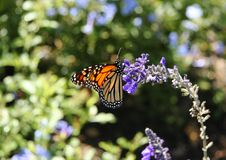 Free Monarch Butterfly II Royalty Free Stock Photo - 2306045