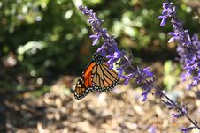 Monarch Butterfly III