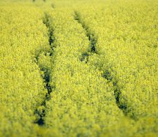 Yellow Rape Stock Image