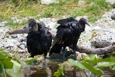 Black Vultures Stock Photography