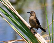 Free Common Grackle (Female) Stock Photo - 2308400