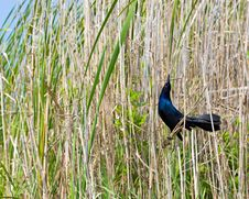 Common Grackle (Male) Stock Photos
