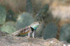 Free Spiny Lizard Royalty Free Stock Photography - 2308457