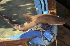 Free Shark On A Boat Stock Photo - 2308500