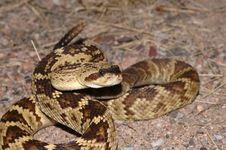 Free Blacktail Rattlesnake Stock Images - 2308874