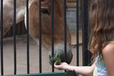Free The Girl Feeds The Kiang. Stock Photo - 2309440