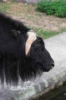 Musk-ox Royalty Free Stock Photography
