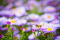 Free Bee On Flowers Royalty Free Stock Photos - 23005778