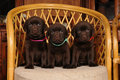 Free Three Cute Labrador Puppies On The Chair Royalty Free Stock Photo - 23008865