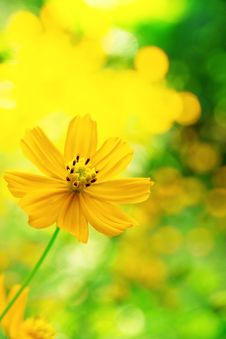 Free Mexican Sunflower Weed Stock Photo - 23000770