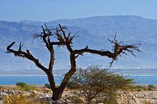 Free A Dry Solitary Snag Near The Dead Sea Royalty Free Stock Photo - 23002635